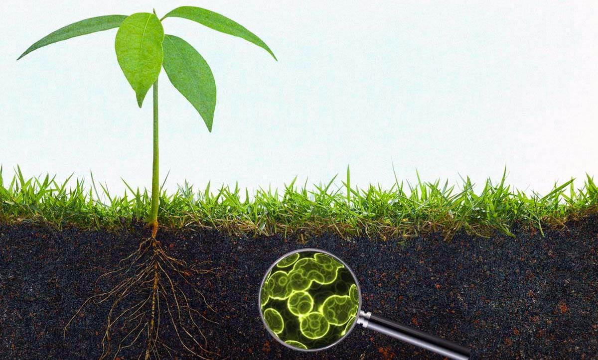 Основні види ґрунтових бактерій